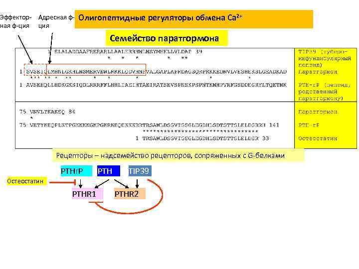 Эффектор- Адресная ф-ция Олигопептидные регуляторы обмена Сa 2+ Семейство паратгормона Рецепторы – надсемейство рецепторов,