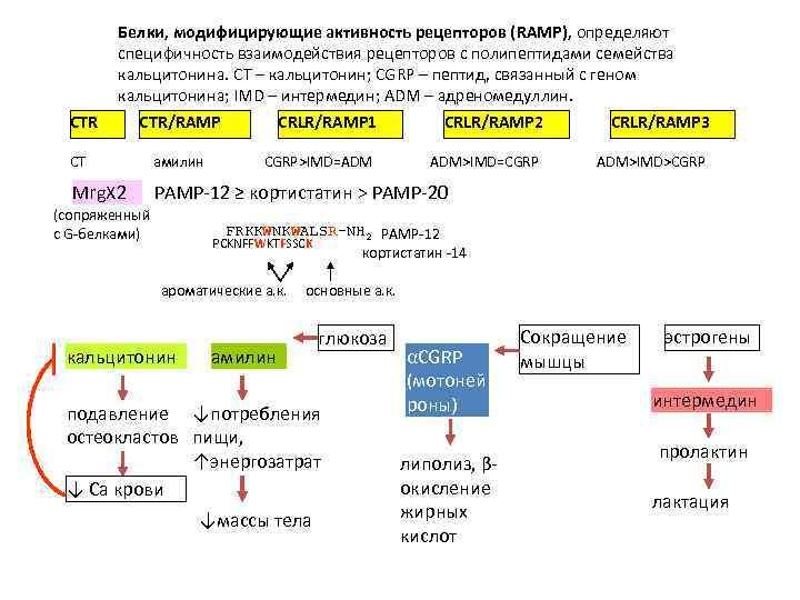CTR Белки, модифицирующие активность рецепторов (RAMP), определяют специфичность взаимодействия рецепторов с полипептидами семейства кальцитонина.