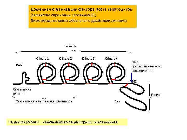 Доменная организация фактора роста гепатоцитов (семейство сериновых протеиназ S 1) Дисульфидные связи обозначены двойными