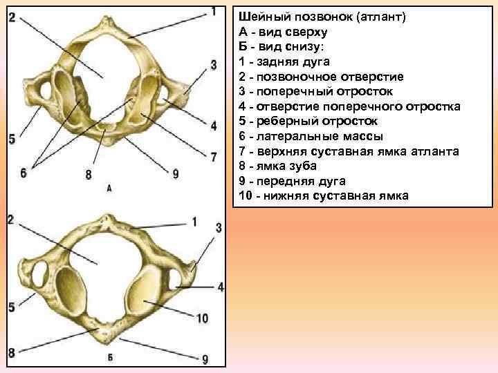 Шейный позвонок (атлант) А - вид сверху Б - вид снизу: 1 - задняя