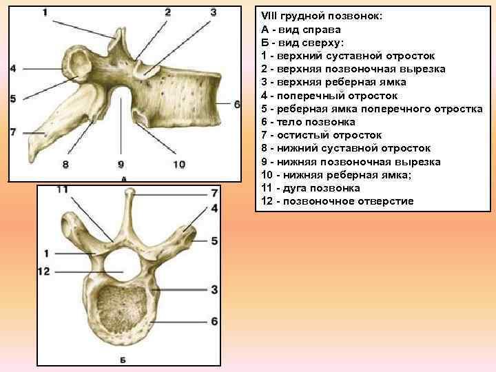 VIII грудной позвонок: А - вид справа Б - вид сверху: 1 - верхний