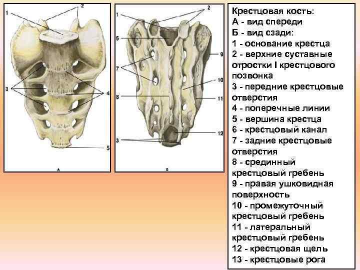 Крестцовая кость: А - вид спереди Б - вид сзади: 1 - основание крестца