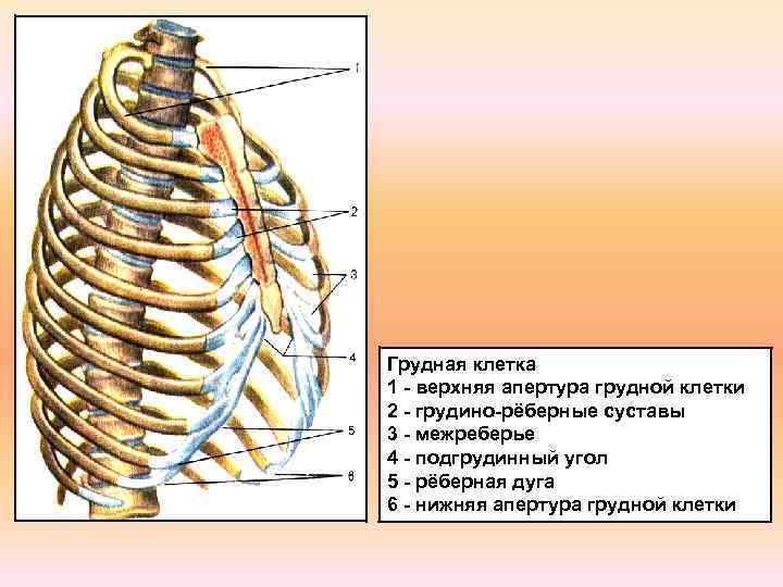 Грудная клетка 1 - верхняя апертура грудной клетки 2 - грудино-рёберные суставы 3 -