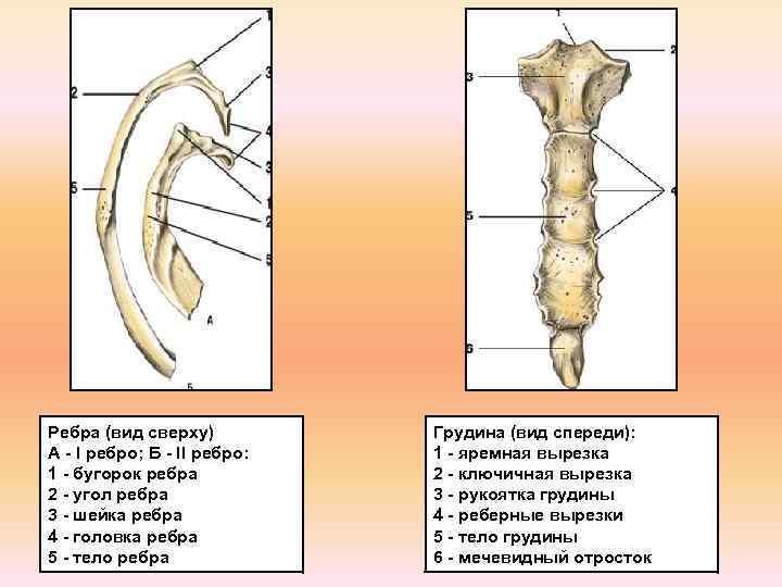 Ребра (вид сверху) А - I ребро; Б - II ребро: 1 - бугорок