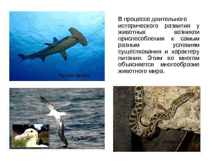 Акула-молот Альбатрос В процессе длительного исторического развития у животных возникли приспособления к самым разным