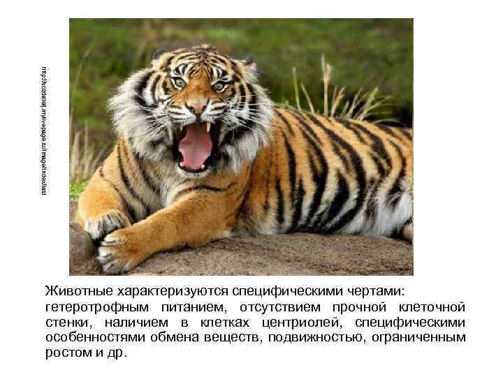 http: //sozdatelj. mylivepage. ru/image/index/last Животные характеризуются специфическими чертами: гетеротрофным питанием, отсутствием прочной клеточной стенки,