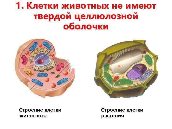 1. Клетки животных не имеют твердой целлюлозной оболочки Строение клетки животного Строение клетки растения