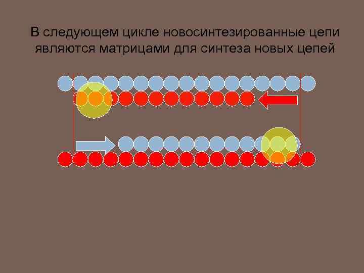 В следующем цикле новосинтезированные цепи являются матрицами для синтеза новых цепей