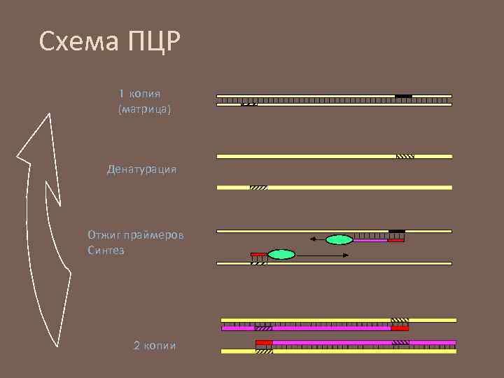 Схема ПЦР 1 копия (матрица) Денатурация Отжиг праймеров Синтез 2 копии