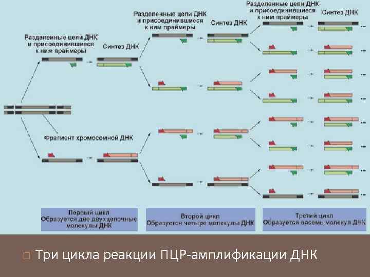Три цикла реакции ПЦР-амплификации ДНК