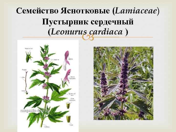 Семейство Яснотковые (Lamiaceae) Пустырник сердечный (Leonurus cardiaca )