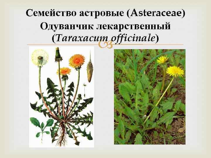 Семейство астровые (Asteraceae) Одуванчик лекарственный (Taraxacum officinale)
