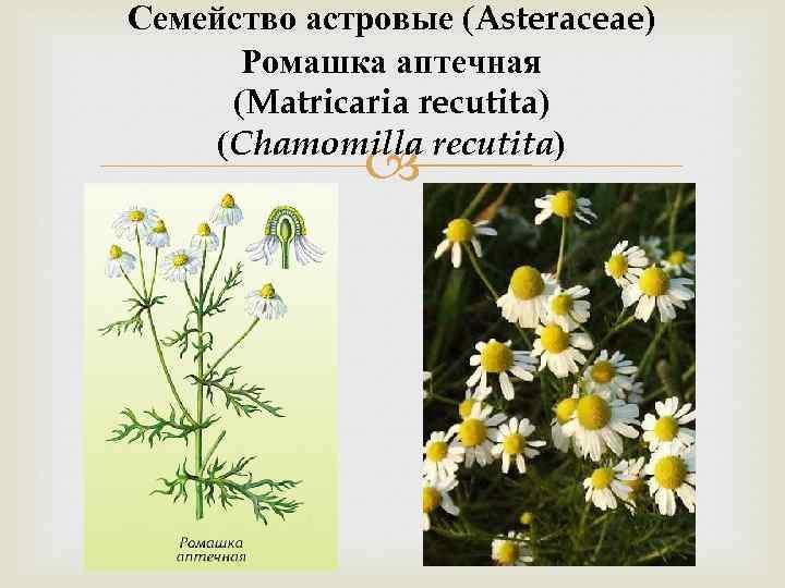 Семейство астровые (Asteraceae) Ромашка аптечная (Matricaria recutita) (Chamomilla recutita)