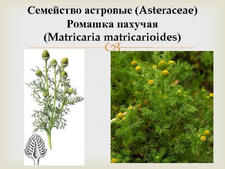 Семейство астровые (Asteraceae) Ромашка пахучая (Matricaria matricarioides)