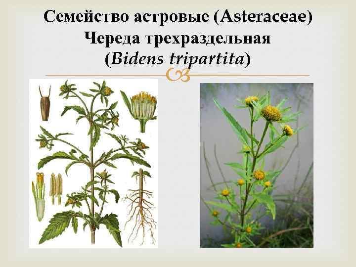 Семейство астровые (Asteraceae) Череда трехраздельная (Bidens tripartita)