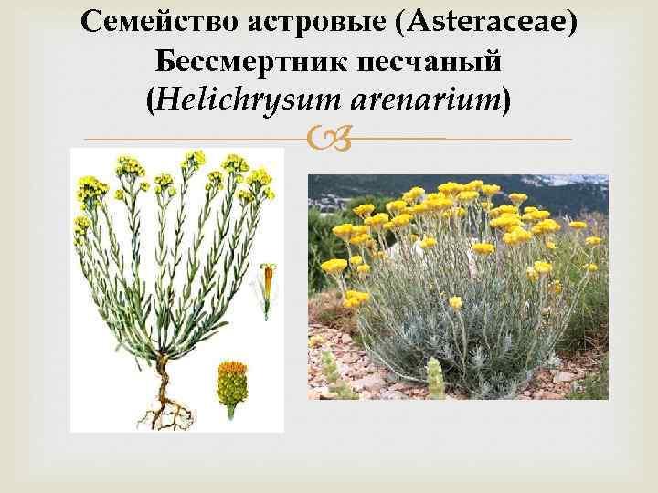 Семейство астровые (Asteraceae) Бессмертник песчаный (Helichrysum arenarium)