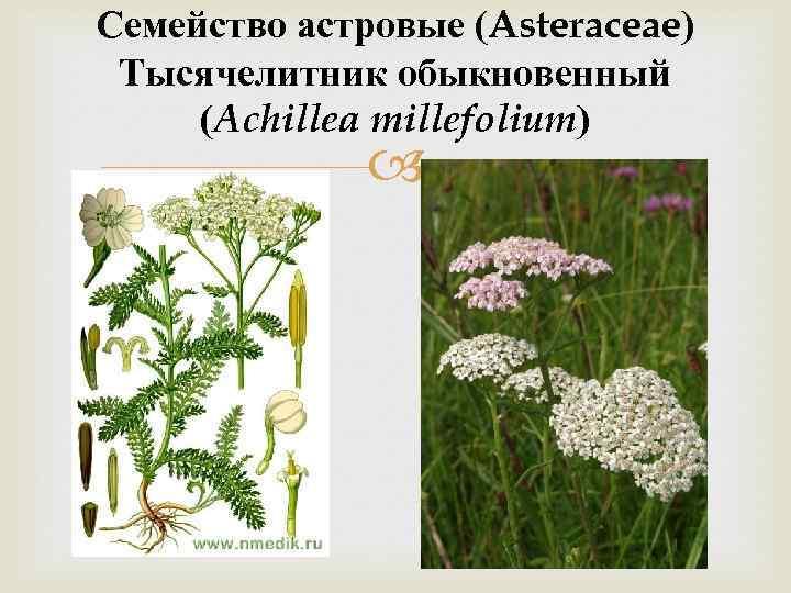 Семейство астровые (Asteraceae) Тысячелитник обыкновенный (Achillea millefolium)