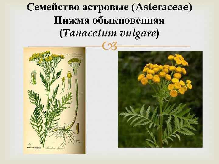 Семейство астровые (Asteraceae) Пижма обыкновенная (Tanacetum vulgare)