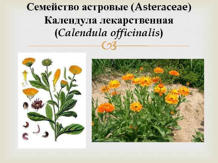 Семейство астровые (Asteraceae) Календула лекарственная (Calendula offiсinalis)