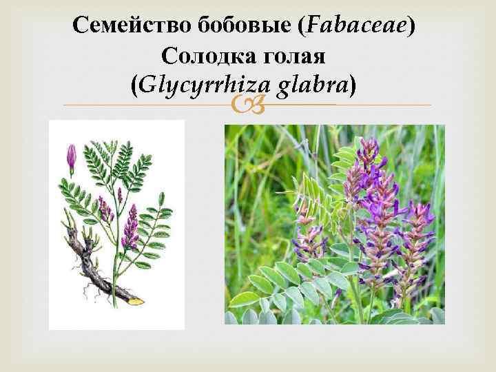 Семейство бобовые (Fabaceae) Солодка голая (Glycyrrhiza glabra)