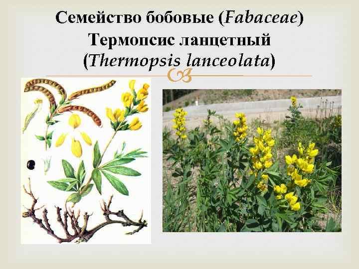 Семейство бобовые (Fabaceae) Термопсис ланцетный (Thermopsis lanceolata)