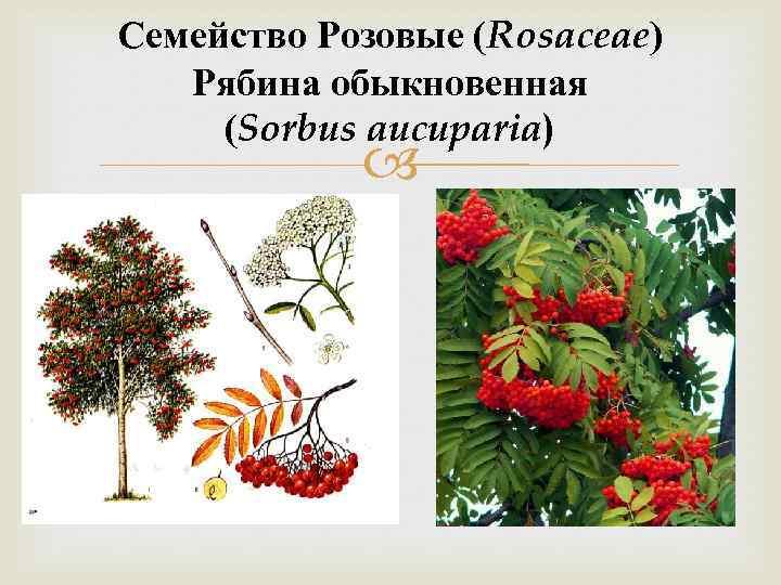 Семейство Розовые (Rosaceae) Рябина обыкновенная (Sorbus aucuparia)