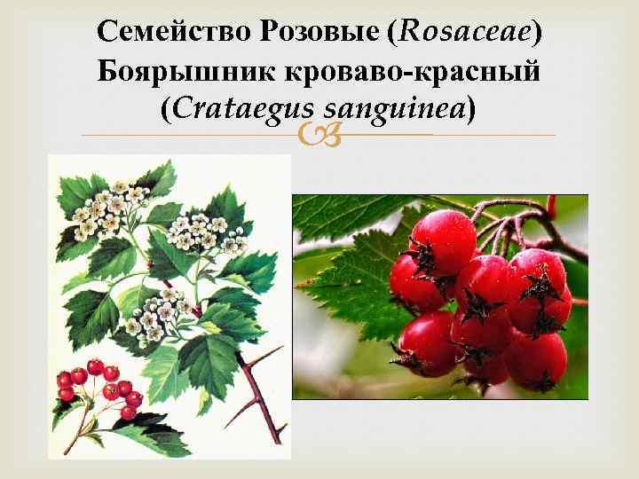 Семейство Розовые (Rosaceae) Боярышник кроваво-красный (Crataegus sanguinea)