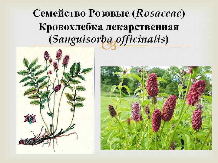Семейство Розовые (Rosaceae) Кровохлебка лекарственная (Sanguisorba officinalis)
