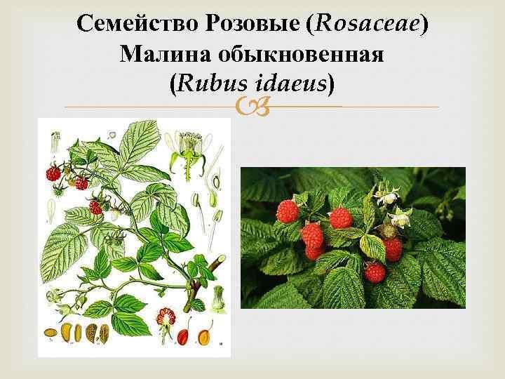 Семейство Розовые (Rosaceae) Малина обыкновенная (Rubus idaeus)