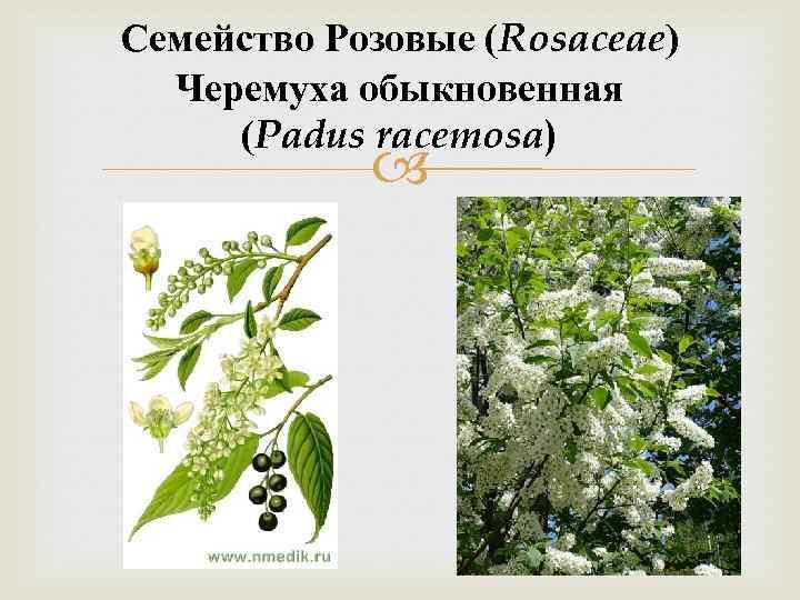 Семейство Розовые (Rosaceae) Черемуха обыкновенная (Padus racemosa)