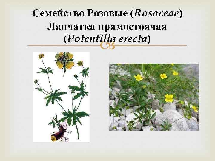 Семейство Розовые (Rosaceae) Лапчатка прямостоячая (Potentilla erecta)