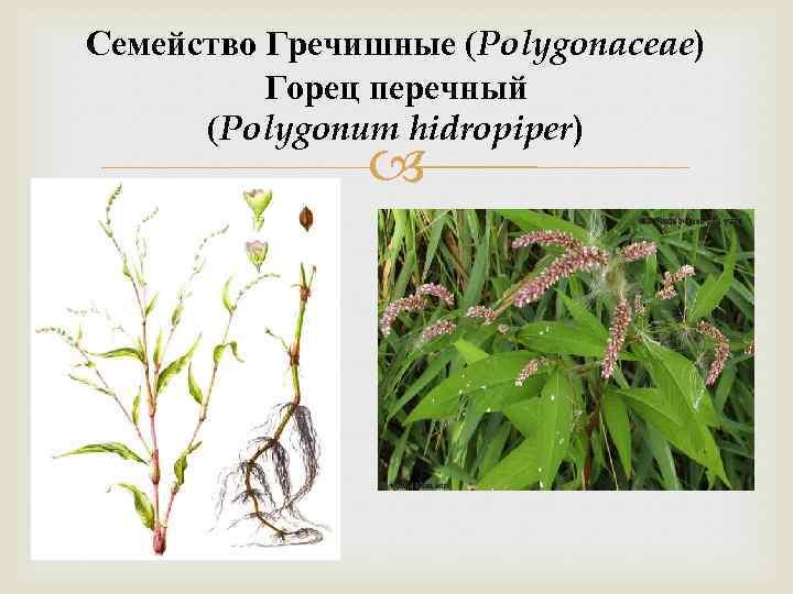 Семейство Гречишные (Polygonaceae) Горец перечный (Polygonum hidropiper)