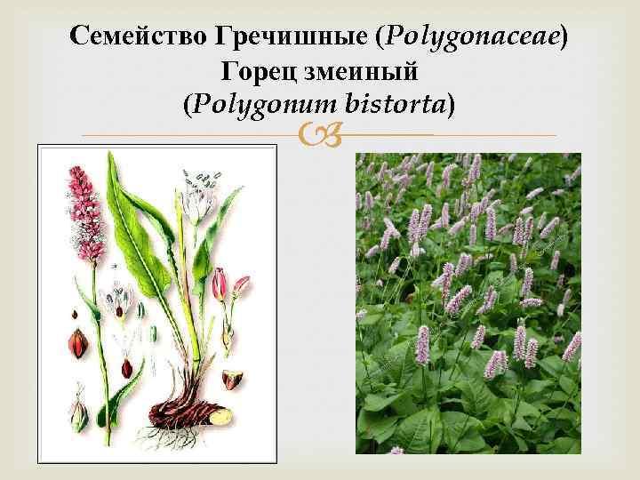 Семейство Гречишные (Polygonaceae) Горец змеиный (Polygonum bistorta)