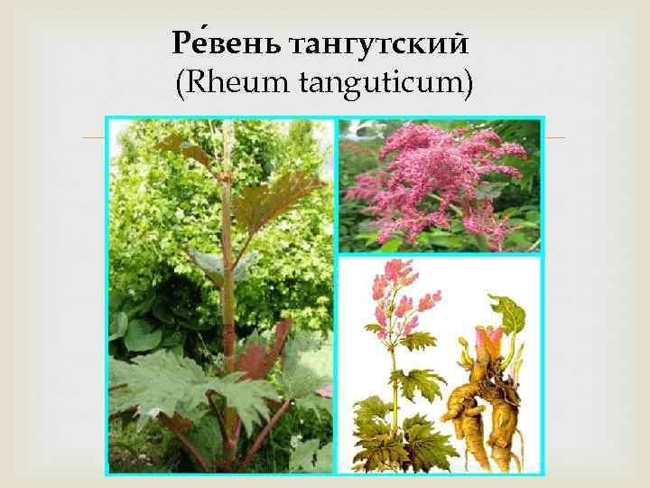 Ре вень тангутский (Rheum tanguticum)