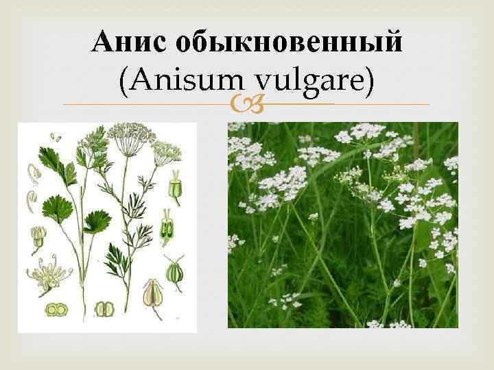 Анис обыкновенный (Anisum vulgare)