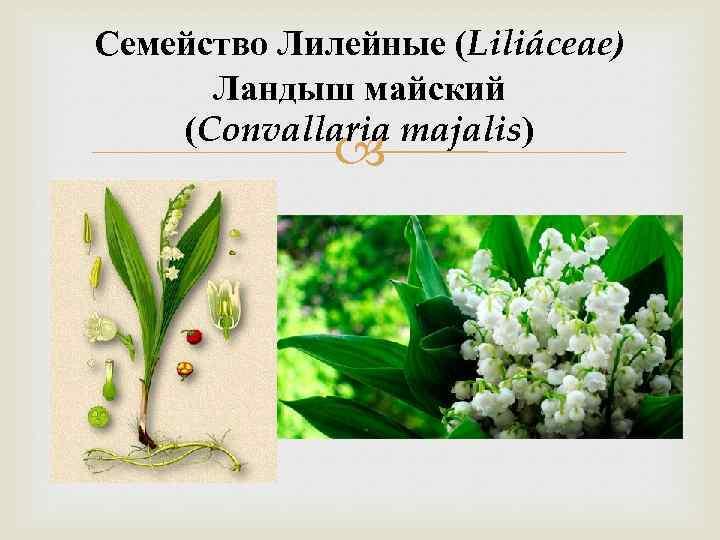 Семейство Лилейные (Liliáceae) Ландыш майский (Convallaria majalis)