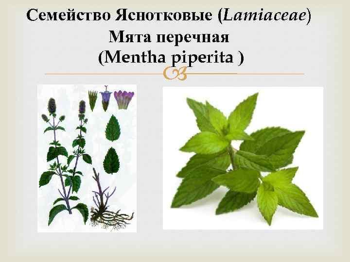 Семейство Яснотковые (Lamiaceae) Мята перечная (Mentha piperita )