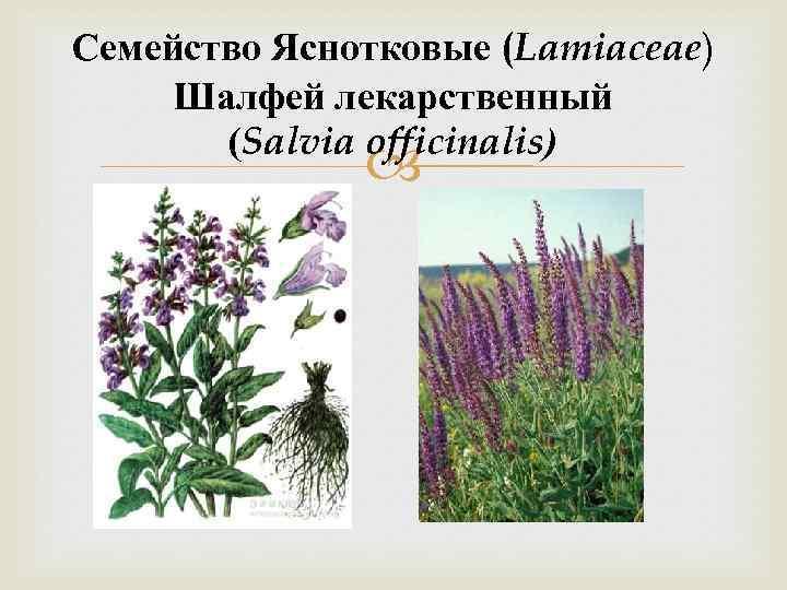 Семейство Яснотковые (Lamiaceae) Шалфей лекарственный (Salvia officinalis)
