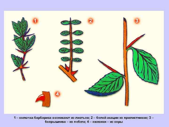 1 – колючка барбариса возникают из листьев; 2 – белой акации из прилистников; 3
