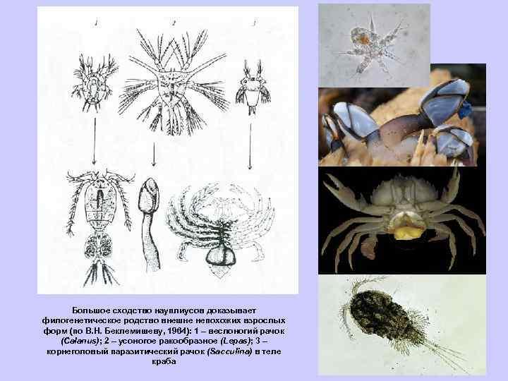 Большое сходство науплиусов доказывает филогенетическое родство внешне непохожих взрослых форм (по В. H. Беклемишеву,