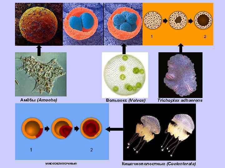 Амёбы (Amoeba) многоклеточные Вольвокс (Volvox) Trichoplax adhaerens Кишечнополостные (Coelenterata)