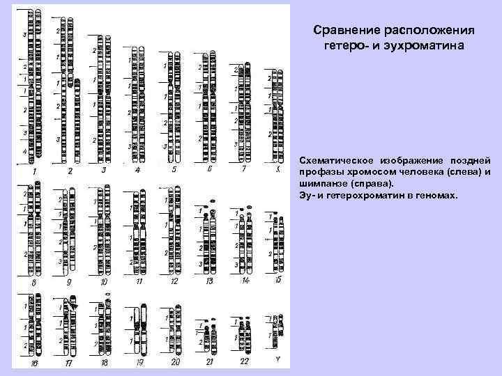 Сравнение расположения гетеро- и эухроматина Схематическое изображение поздней профазы хромосом человека (слева) и шимпанзе