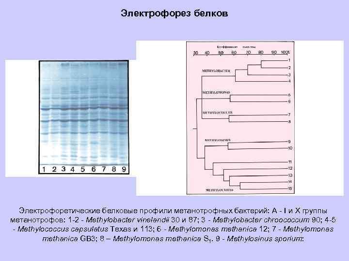 Электрофорез белков Электрофоретические белковые профили метанотрофных бактерий: А - I и Х группы метанотрофов: