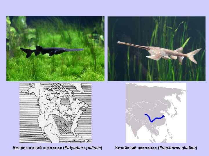 Американский веслонос (Polyodon spathula) Китайский веслонос (Psephurus gladius)