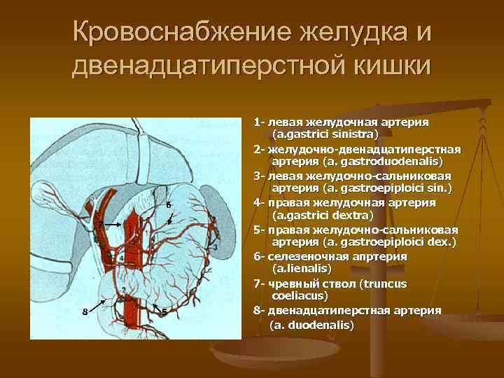 Кровоснабжение желудка и двенадцатиперстной кишки 6 7 8 5 1 - левая желудочная артерия