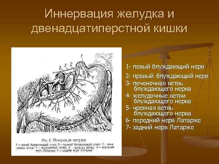Иннервация желудка и двенадцатиперстной кишки 1 - левый блуждающий нерв 2 - правый блуждающий