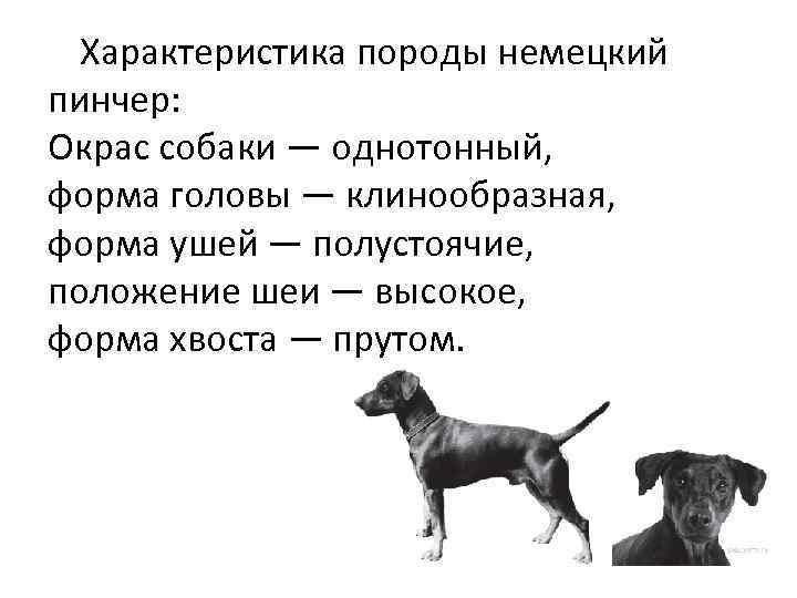 Характеристика породы немецкий пинчер: Окрас собаки — однотонный, форма головы — клинообразная, форма