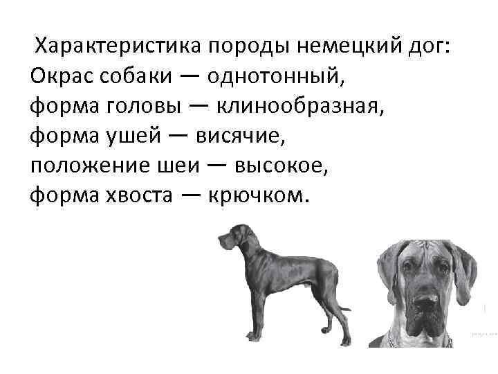 Характеристика породы немецкий дог: Окрас собаки — однотонный, форма головы — клинообразная, форма