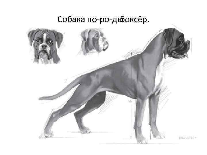 Собака по ро ды боксёр.