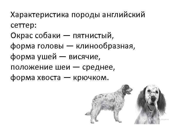 Характеристика породы английский сеттер: Окрас собаки — пятнистый, форма головы — клинообразная, форма ушей